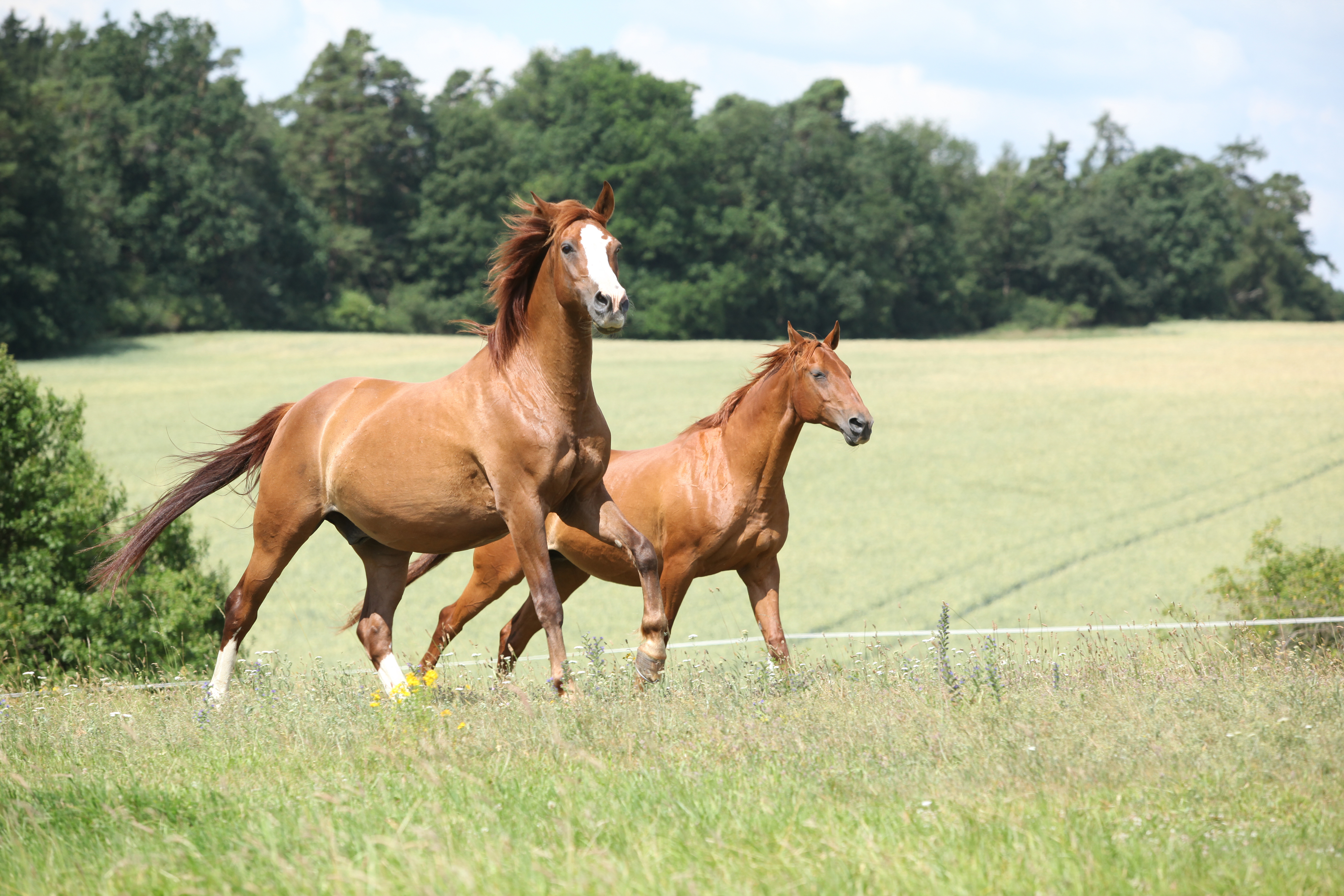 Two chestnut horses running together :: Ark Country Store - photo#20