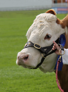 Tips for Your Show Cattle