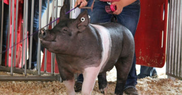 Show Pig Supplement Options