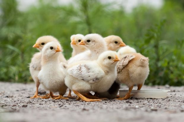 baby chicks arrive at Ark Country Store